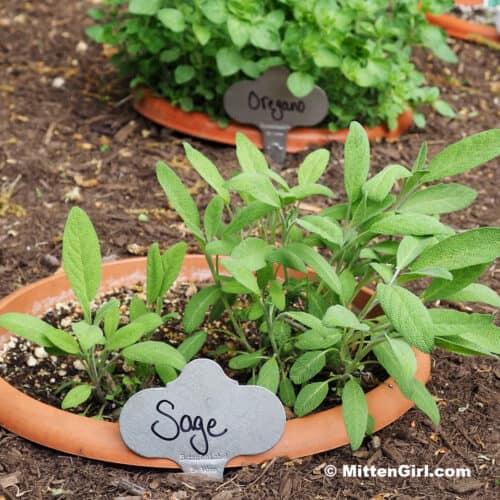 Sage in a pot