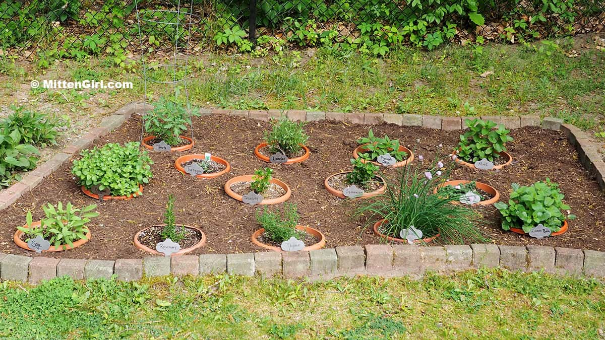 My backyard herb garden with 14 plants in pots, buried in the ground.